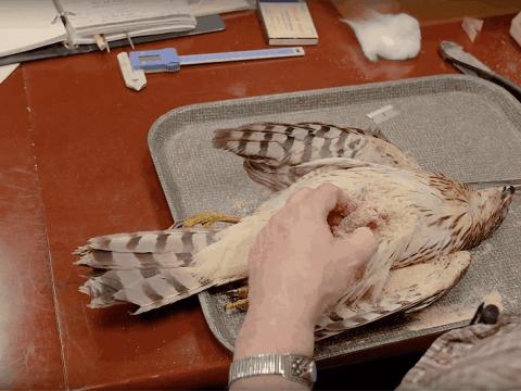 Creation of a Cooper's Hawk study skin