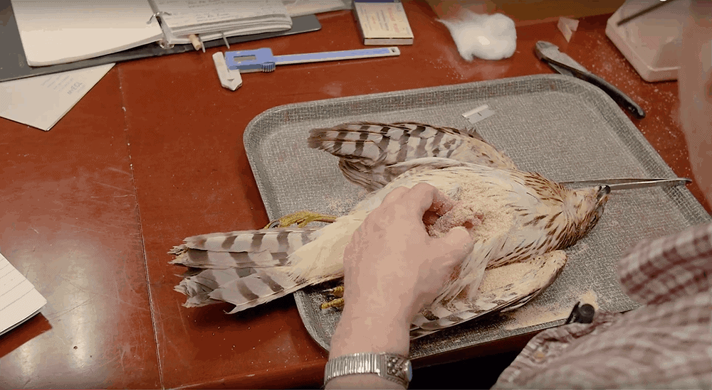 Creation of a Cooper's Hawk study skin
